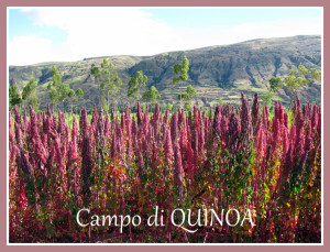 red quinoa field
